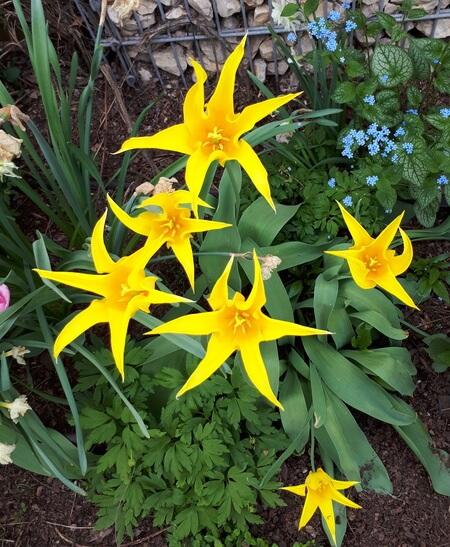 sárga tulipán -nőnapra