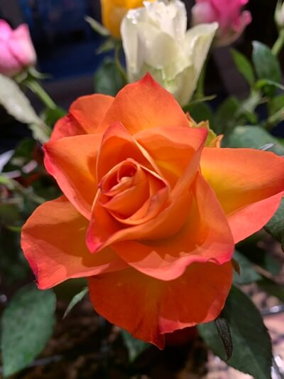 rózsa - nőnapra