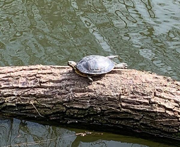 Napozó teknős