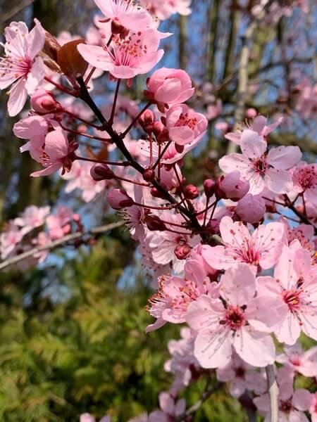 virágzó ág - nőnapra